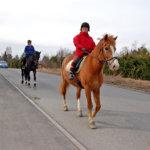 Hevonen liikenteessä vaatii erityishuomiota autoilijoilta
