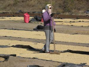 Kahvi kuivatetaan maahan levitettyjen muovien päällä.