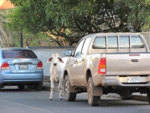 Lehmä iltakävelyllä.