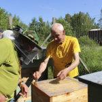 Kanadan-matka ei antanut mitään uutta akaalaiseen mehiläistarhaukseen – Kuningattaria lennätetään ympäri maata