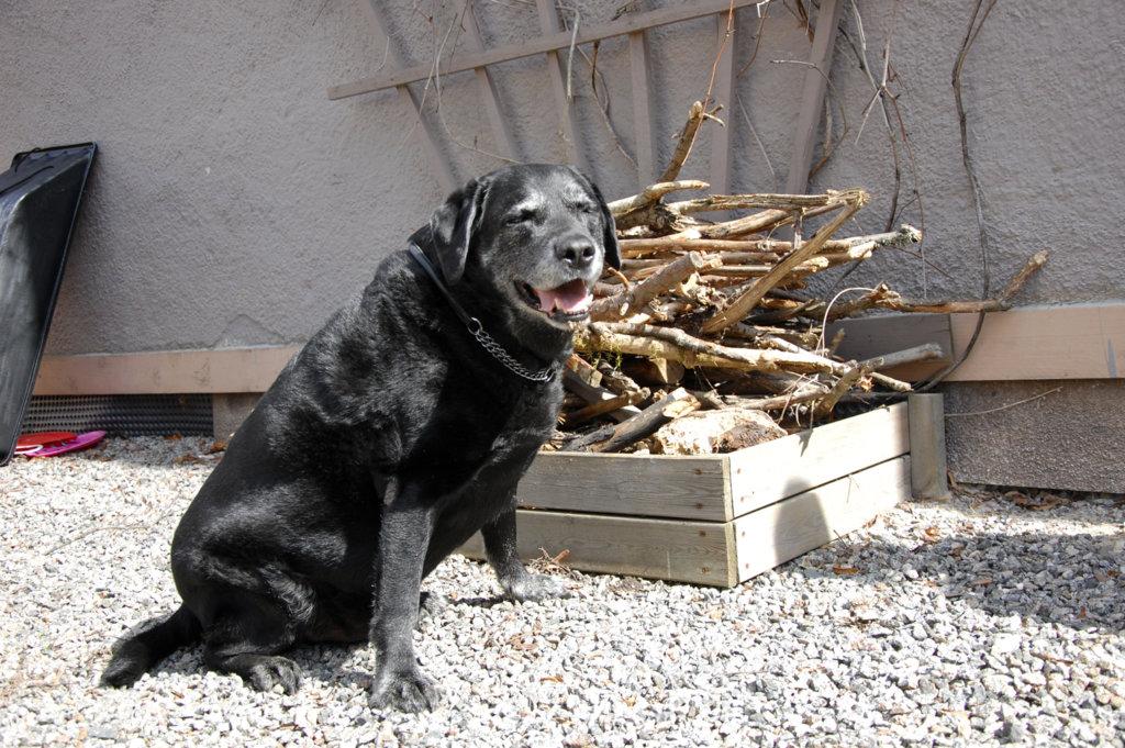 Satu Helinin koira Kampsu on erikoistunut saunapuiden keräämiseen.