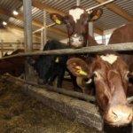Vainion maitotilalle tunnustusta laatumaidosta