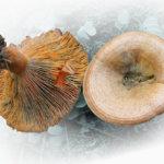 Sienisarja Metsään menee: Satoisat suolasienet – Rouskut osa 2
