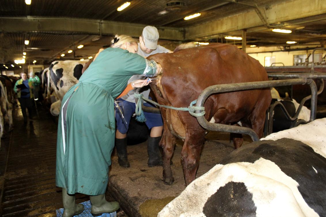 Lehmän Siemennys