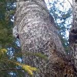 Akaa selvittää luonnonsuojelualueen perustamista Viialaan – katso video Hukarin liito-oravasta