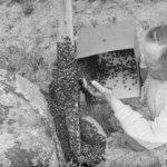 Suomen hunajapääkaupungilla on pitkä historia – Oskari Viitanen aloitti mehiläistarhauksen Akaassa yli 100 vuotta sitten
