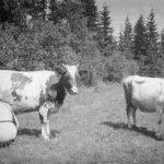 Lehmät, karitsat ja lampaat pääsivät Oskari Viitasen kuviin