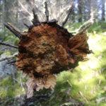 HEILIN pääkirjoitus: Metsän kansa