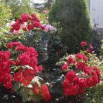 """""""Kukka on kuin kuningatar Elizabeth"""" – Sirkesalojen ruusutarha kukkii upeasti"""