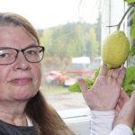 Sitruunavanhus on kasvattanut ensimmäistä satoaan kohta vuoden – Hedelmä on isompi kuin lajitoverinsa kaupassa