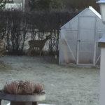 Peurat kävivät syömässä omakotitalon pensasaitaa Viialassa