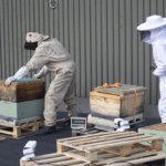 Mehiläiset ovat kotiutuneet K-Supermarketin katolle – Kaupunkihunajaa odotetaan noin 80 kiloa