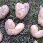 Kylmäkosken Asemalla kasvaa sydämellisiä perunoita