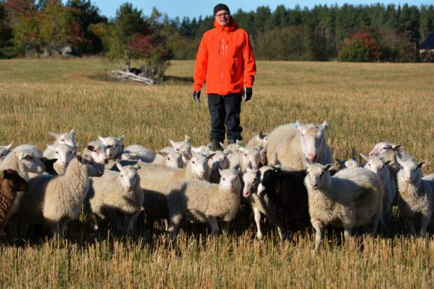 Tolvilan kartanon lammastilan isäntä Jarmo Latvanen odottaa, että teurastamot ja kaupat ovat valmiita nostamaan karitsoiden hintaa. Näin lampurit voivat jatkaa lampaanlihantuotantoaan. Hänen mukaansa tilamyynti on voimissaan. - Liha, taljat ja villat löytävät ostajansa, hän iloitsee. (Kuva: Pirjo Latvanen)