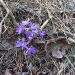 Sinivuokot kukkivat Sontulassa