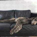 Hiihtolenkillä eksynyttä Häpi-koiraa etsittiin myös Akaassa – Eija ja Petri Mäkinen näkivät karkurin kotinsa lähistöllä Kylmäkoskella
