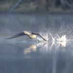 Viialassa asustaa poikkeuksellisen vanha kaakkuri – Rauhoitettu lintu on löytänyt Akaasta sopivan pesimäpaikan